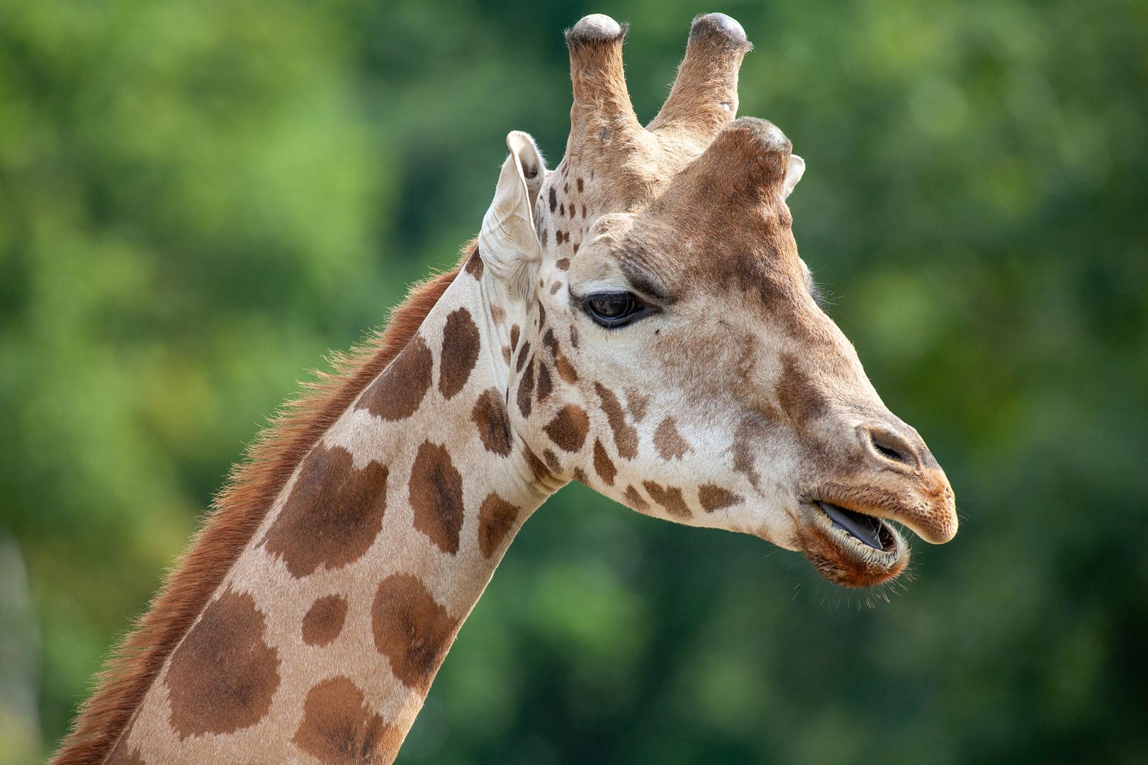 Nubische Giraffe (G. c. camelopardalis)
