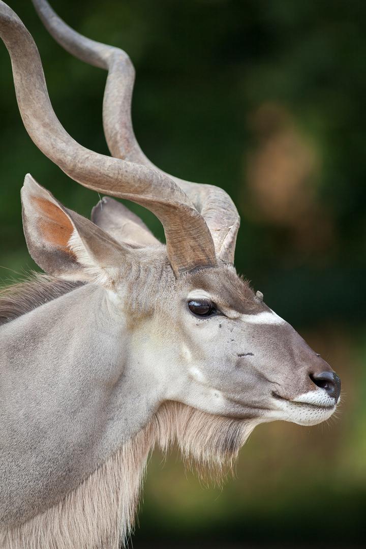 Grosser Kudu Tragelaphus strepsiceros