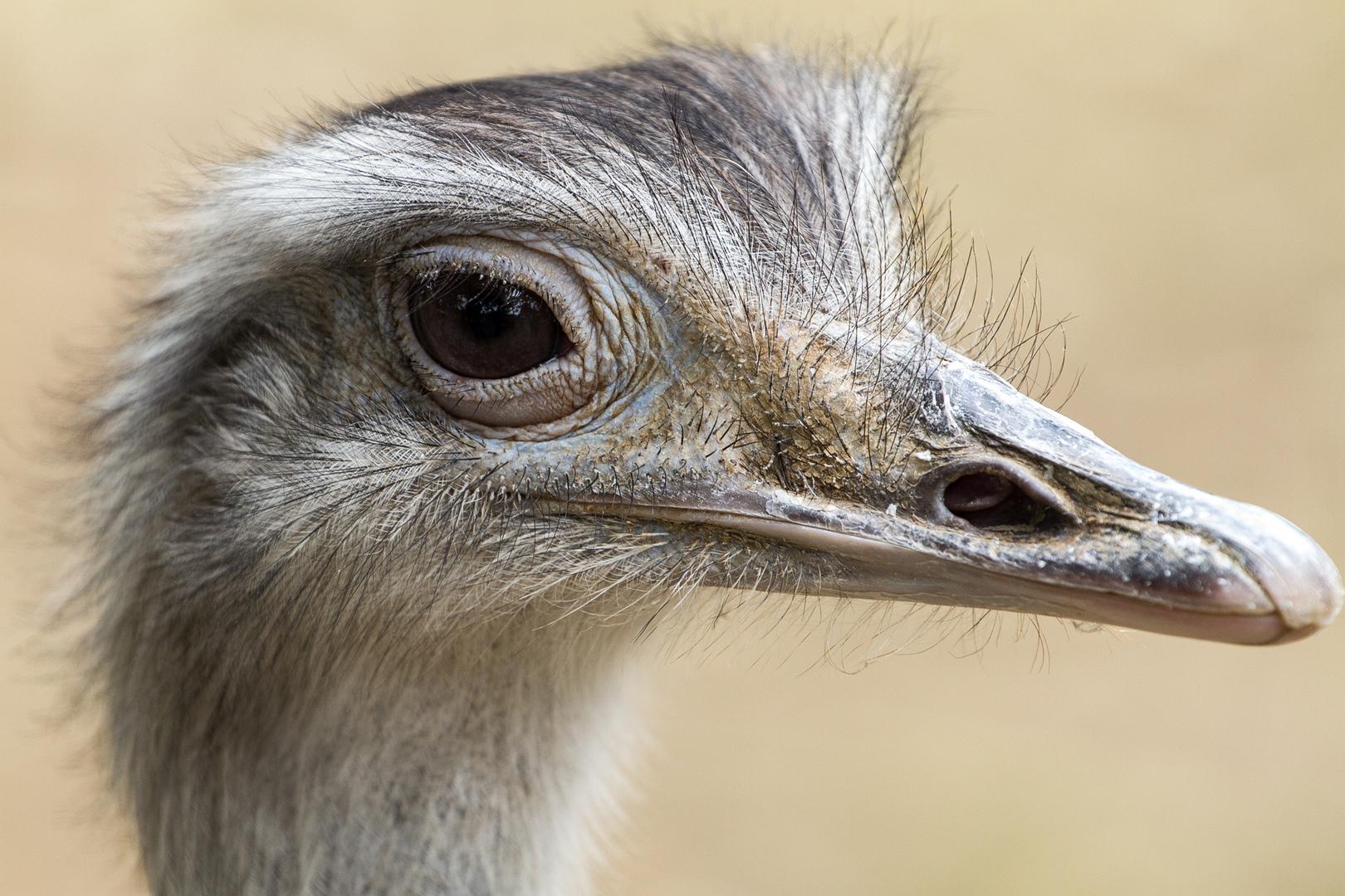 Afrikanischer Strauß (Struthio camelus)
