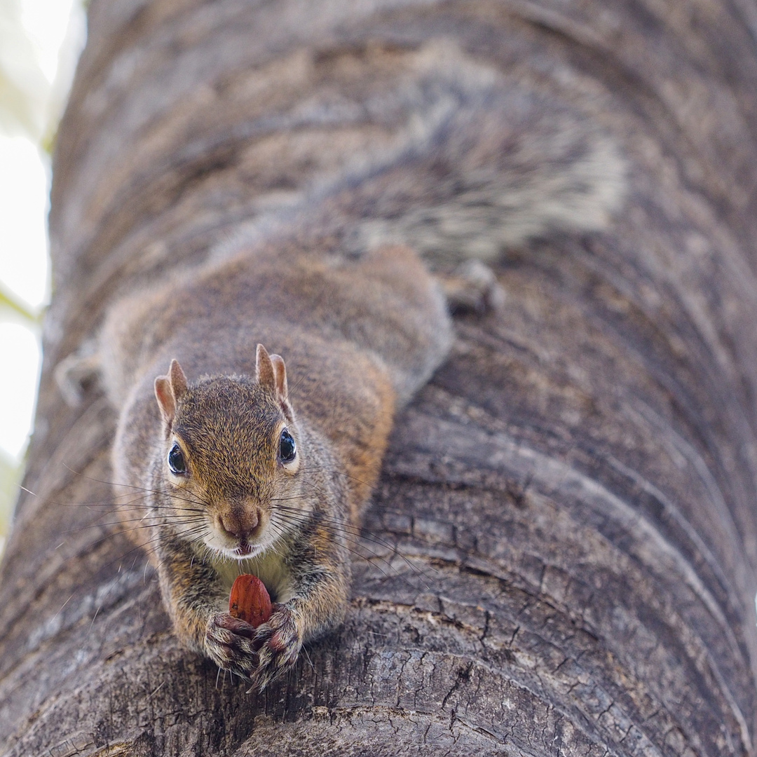 Eichhörnchen an Palme Miami USA