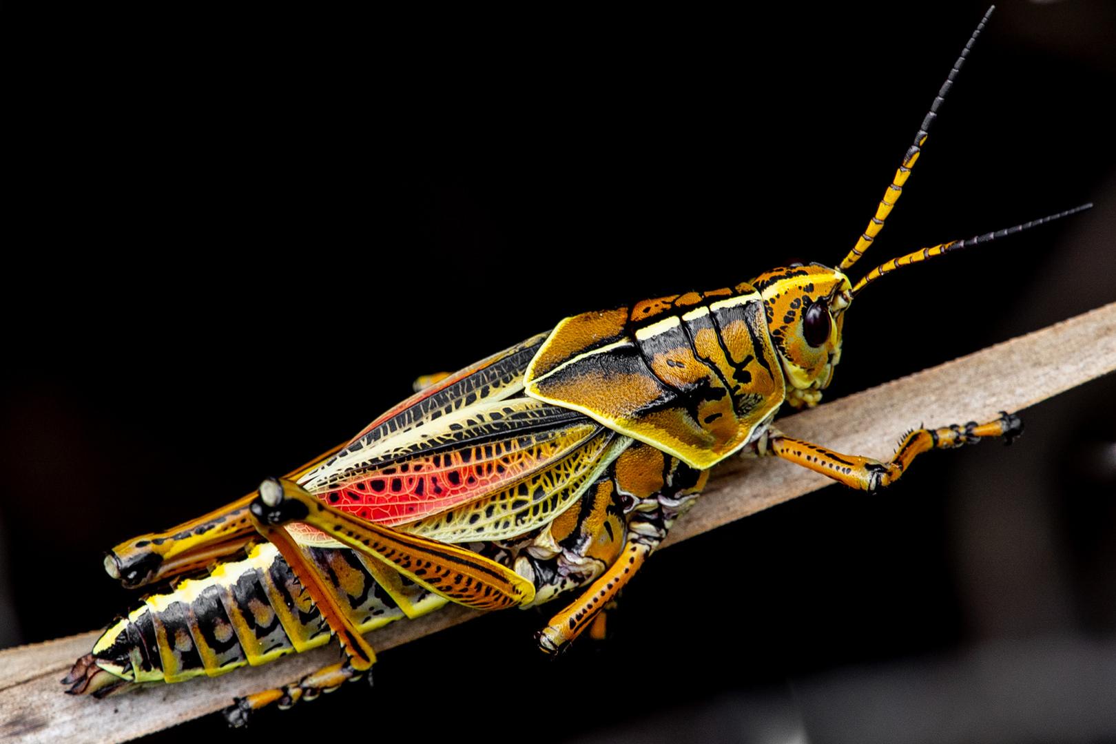 Kurzfühlerschrecke Romalea microptera