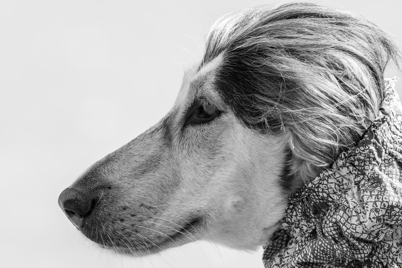 Windhund #4