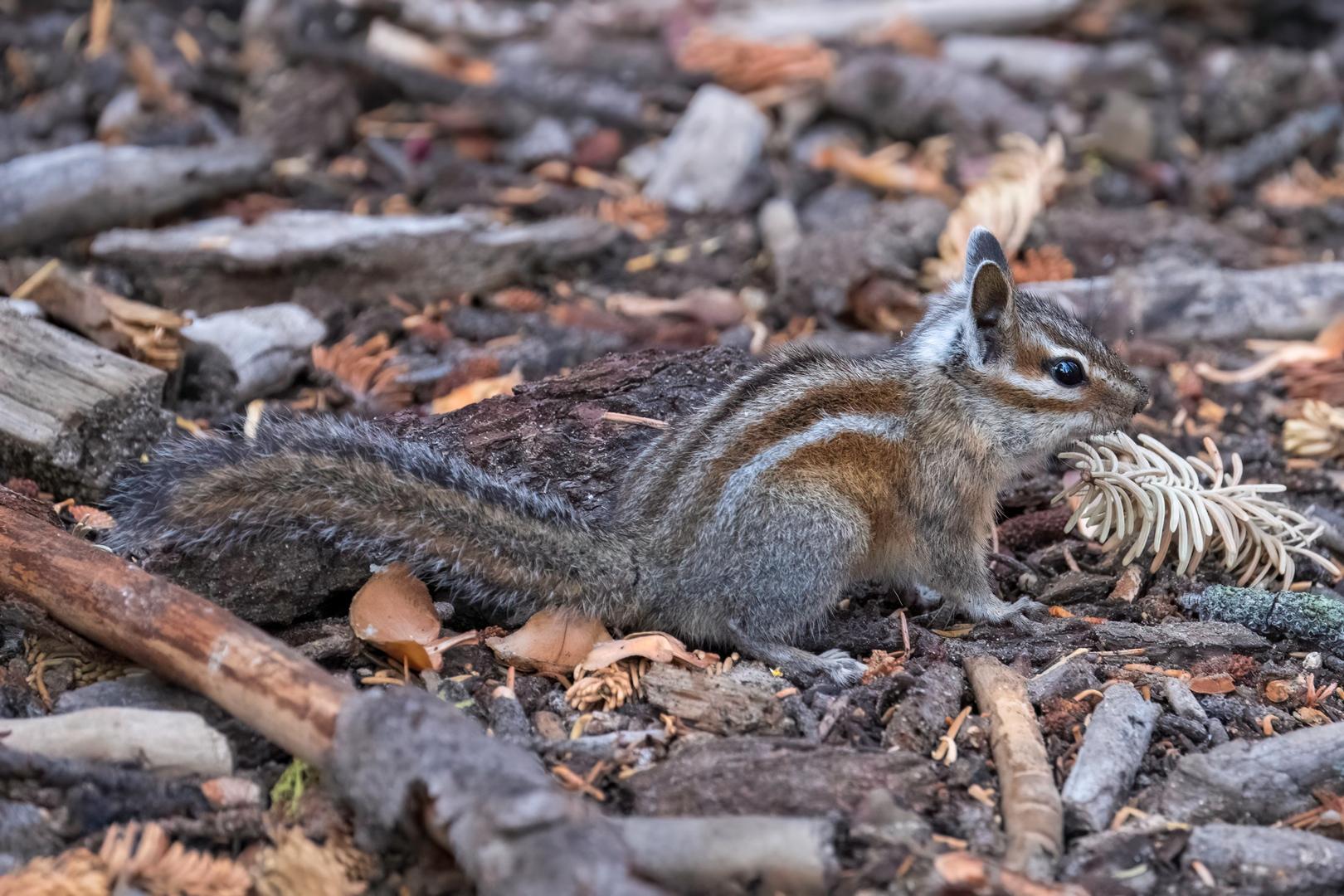 Streifenhörnchen Yosemite USA