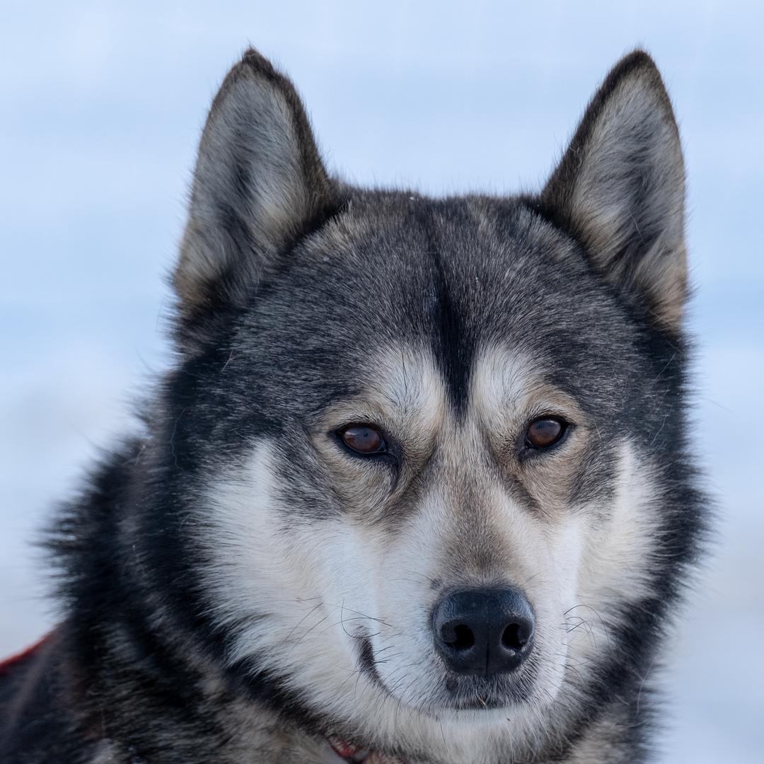 Schlittenhund-Husky