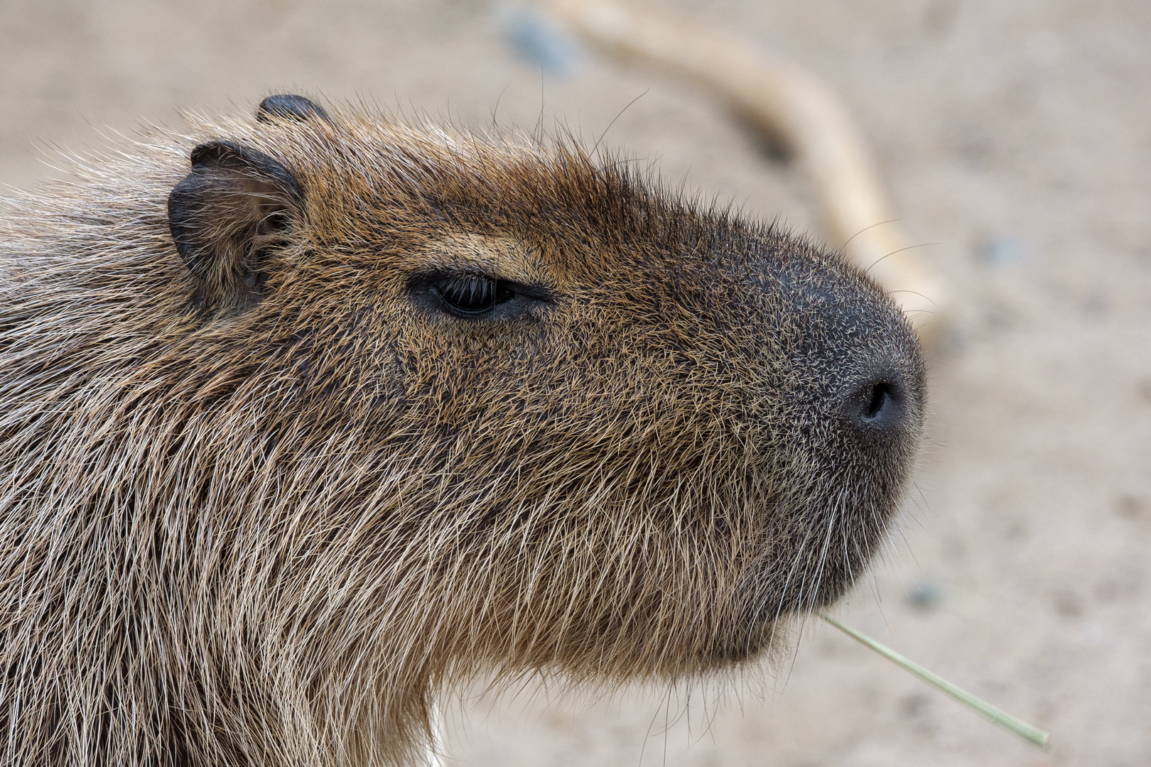 Capybara oder Wasserschwein (Hydrochoerus hydrochaeris)