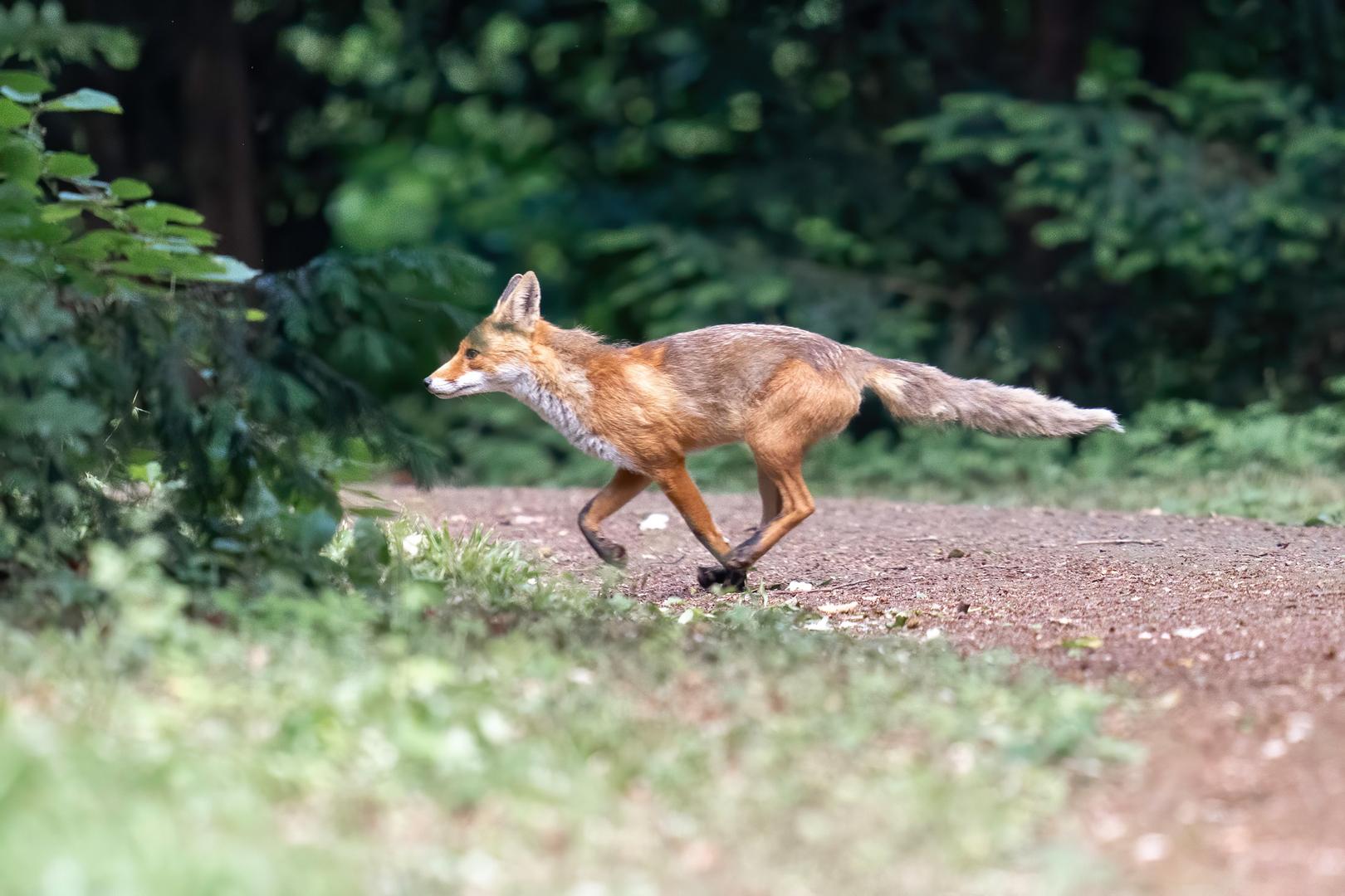 Fuchs auf dem Waldweg