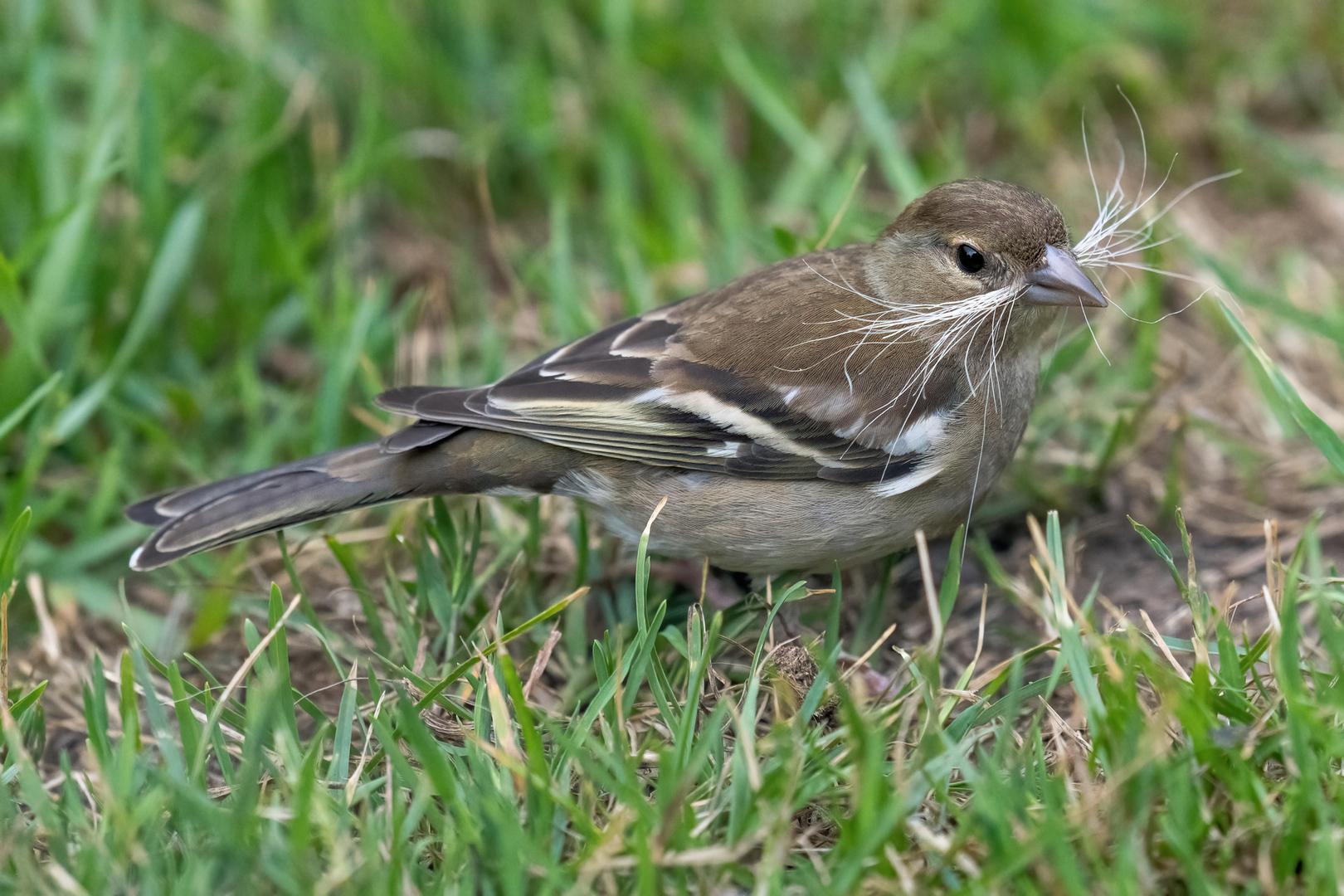 Buchfink Weibchen sammelt Nestmaterial
