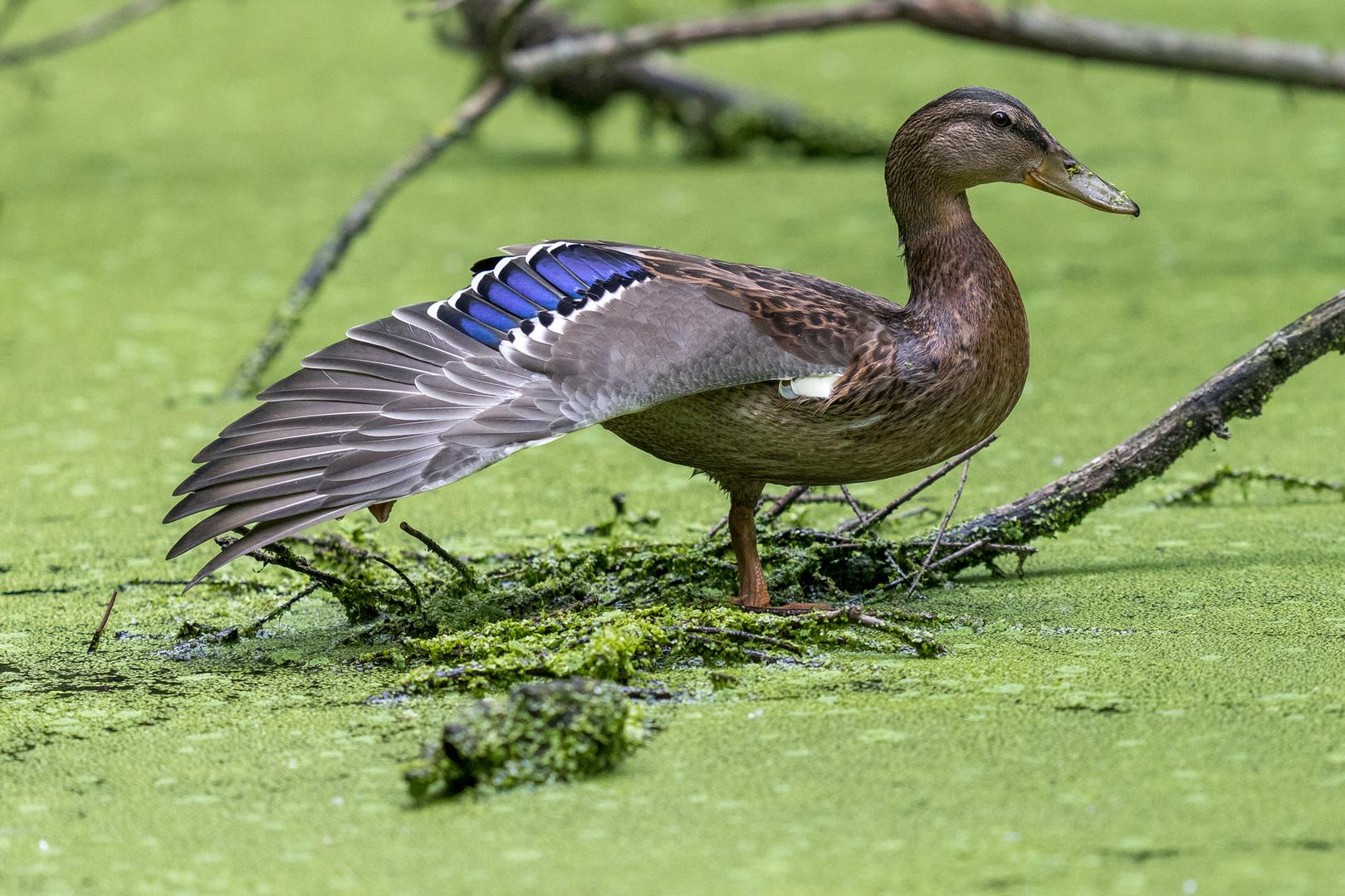 Ente zeigt ihr Prachtgefieder