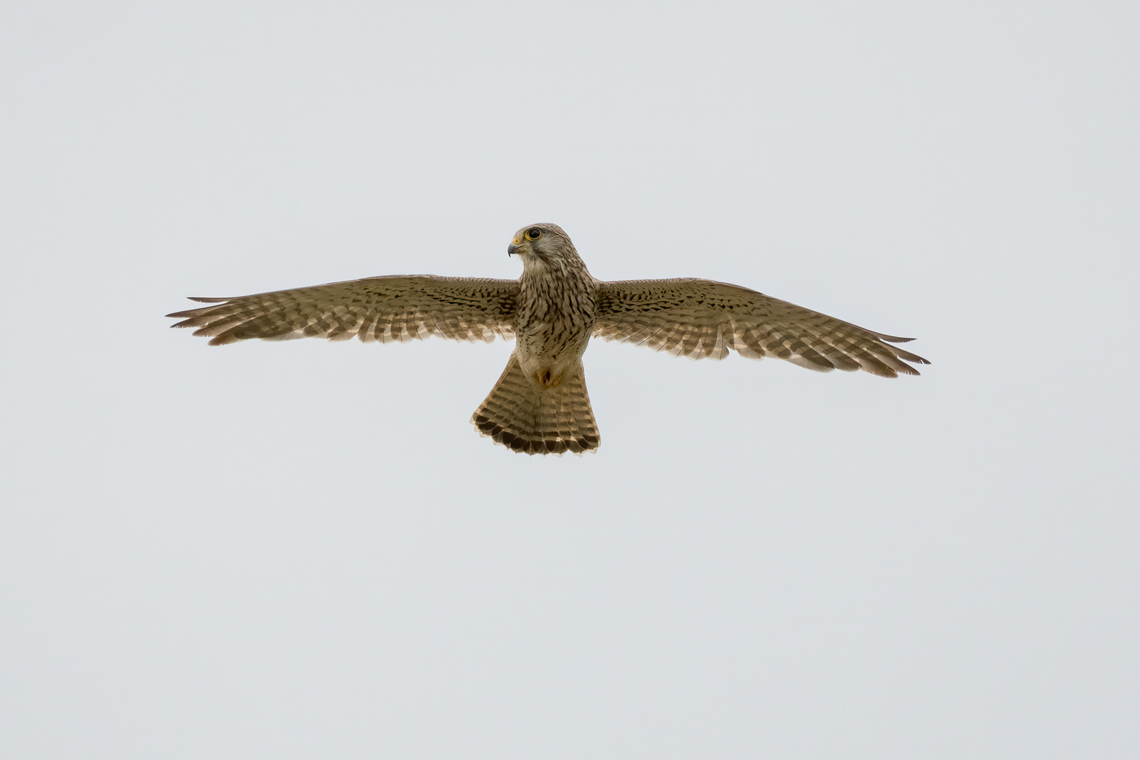 Falke beim Rütteln
