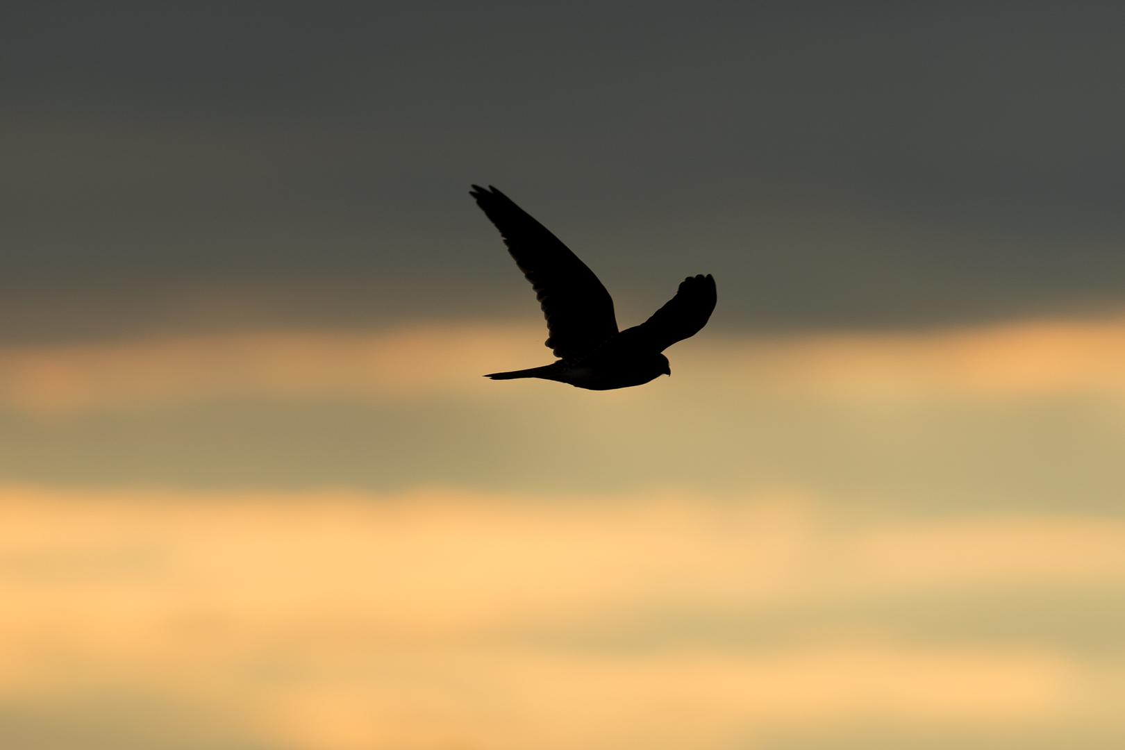 Falke im Abendrot